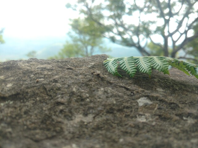 A fern leaf on a rock with an unfocussed background of a tree.